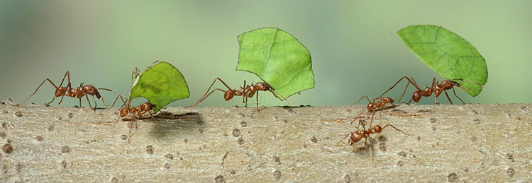 hormigas-cargando-peso-mayor